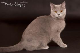 Foto 2 BKH-Kitten reinrassige in Blau