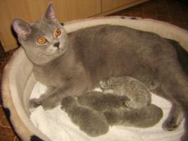 Foto 3 BKH-Kitten reinrassige in Blau