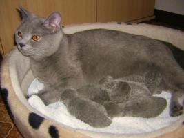 Foto 7 BKH-Kitten reinrassige in Blau