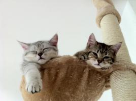 BKH-Kitten in den schönen Whiskas-Farben suchen ein neues zu Hause