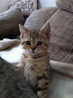 Foto 2 BKH-Kitten in den schönen Whiskas-Farben suchen ein neues zu Hause