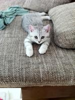 Foto 3 BKH-Kitten in den schönen Whiskas-Farben suchen ein neues zu Hause