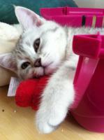 Foto 5 BKH-Kitten in den schönen Whiskas-Farben suchen ein neues zu Hause