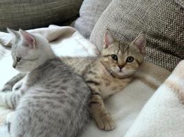 Foto 6 BKH-Kitten in den schönen Whiskas-Farben suchen ein neues zu Hause