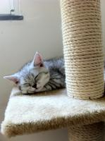 Foto 7 BKH-Kitten in den schönen Whiskas-Farben suchen ein neues zu Hause
