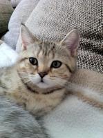 Foto 8 BKH-Kitten in den schönen Whiskas-Farben suchen ein neues zu Hause