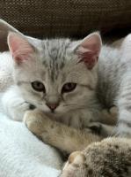Foto 9 BKH-Kitten in den schönen Whiskas-Farben suchen ein neues zu Hause
