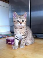 Foto 10 BKH-Kitten in den schönen Whiskas-Farben suchen ein neues zu Hause