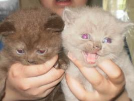 BKH Kitten in schokolate und lilac