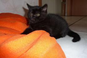 Foto 2 BKH Kitten in schwarz (Kätzin)