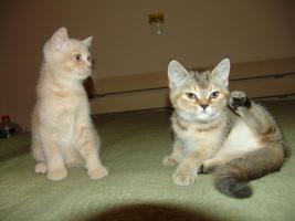 BKH Kitten seltene Farben