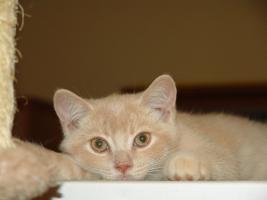 Foto 2 BKH Kitten seltene Farben