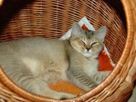 Foto 3 BKH Kitten seltene Farben