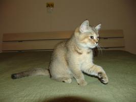 Foto 4 BKH Kitten seltene Farben