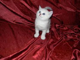 Foto 2 BKH Kitten in silver tabby und silver shaded