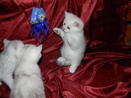 Foto 4 BKH Kitten in silver tabby und silver shaded