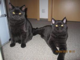 BKH Kitten suchen dringend ein neues liebevolles zuhause