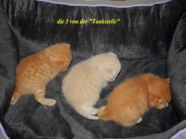 BKH Kitten suchen neue Dosenöffner