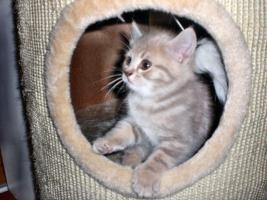 Foto 3 BKH-Kitten suchen ein neues Zuhause