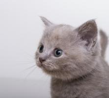Foto 3 BKH Kitten suchen ein neues zu hause!!!