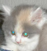 BKH-Kitten in verschiedenen Farben umzugsbereit!