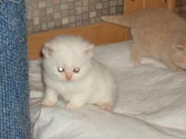 Foto 2 BKH-Kitten in verschiedenen Farben umzugsbereit!