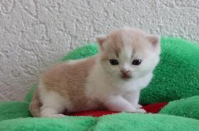BKH Kitten - Nur noch ein Bub in creme-weiß