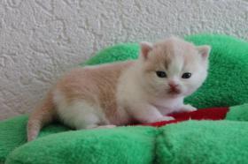 Foto 2 BKH Kitten - Nur noch ein Bub in creme-weiß