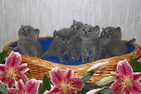 BKH Kitten, reinrassig und süss