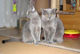 Foto 2 BKH Kitten, reinrassig und süss