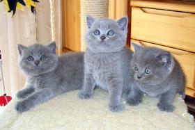 Foto 3 BKH Kitten, reinrassig und süss