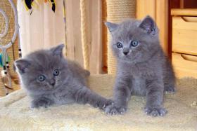 Foto 4 BKH Kitten, reinrassig und süss