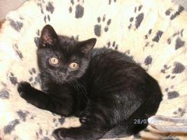 BKH Kitten, weib. in choclate sucht ein Heim