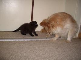 Foto 2 BKH Kitten, weib. in choclate sucht ein Heim