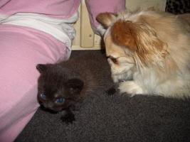 Foto 3 BKH Kitten, weib. in choclate sucht ein Heim
