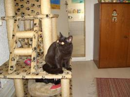 Foto 4 BKH Kitten, weib. in choclate sucht ein Heim