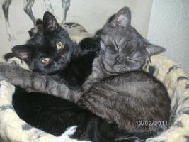 Foto 5 BKH Kitten, weib. in choclate sucht ein Heim