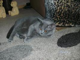 Foto 6 BKH Kitten, weib. in choclate sucht ein Heim