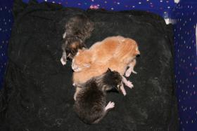 BKH-Mix-Kitten suchen neuen Dosenöffner