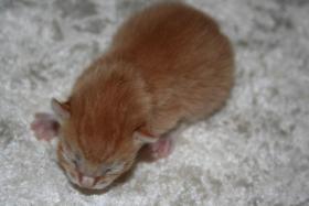 Foto 2 BKH-Mix-Kitten suchen neuen Dosenöffner