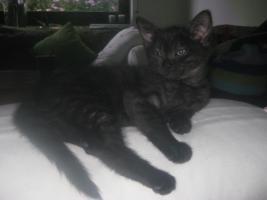 BKH-Mix Kitten zu vergeben