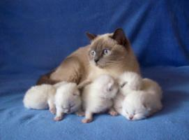 Foto 2 BKH Point-Kitten