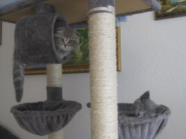 BKH und SF Katzenbabys