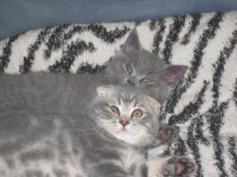 Foto 4 BKH und SF Katzenbabys
