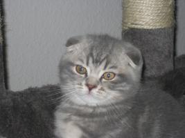 Foto 5 BKH und SF Katzenbabys