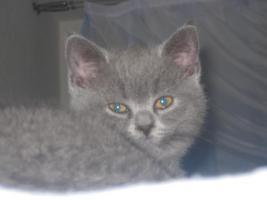 Foto 6 BKH und SF Katzenbabys