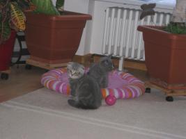 Foto 7 BKH und SF Katzenbabys