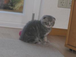 Foto 9 BKH und SF Katzenbabys