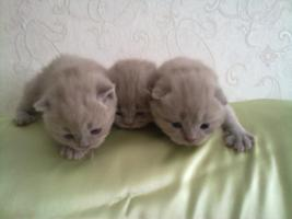 Foto 2 BKH und SF Katzenbabys