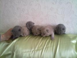 Foto 3 BKH und SF Katzenbabys